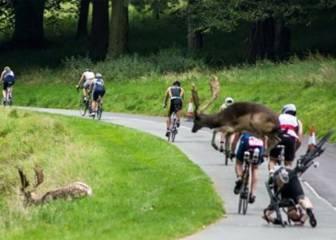 Una pareja de ciervos tira a un ciclista en pleno triatlón