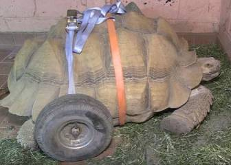 La tortuga a la que pusieron ruedas después de tener demasiado sexo