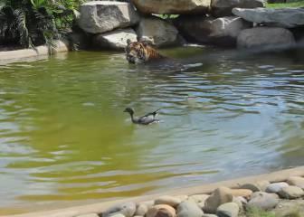 Un pato muy veloz humilla a un tigre de Sumatra