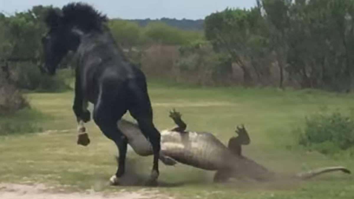 Graban en video la pelea entre un caballo salvaje y un cocodrilo
