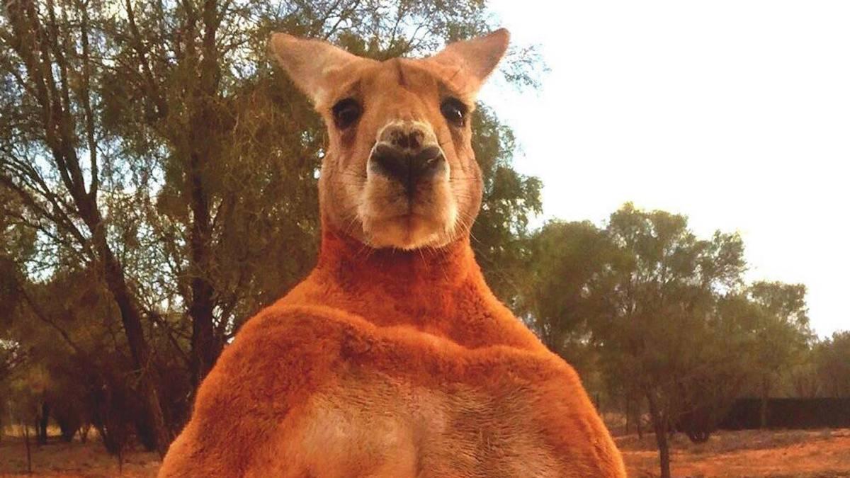 Los australianos despiden al canguro Roger, el más musculado del país