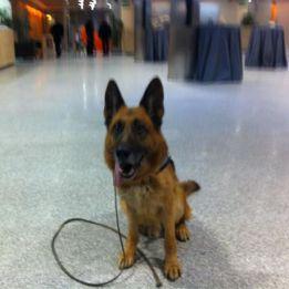 Merlín, perro policia del Real Madrid, se jubila tras el derbi