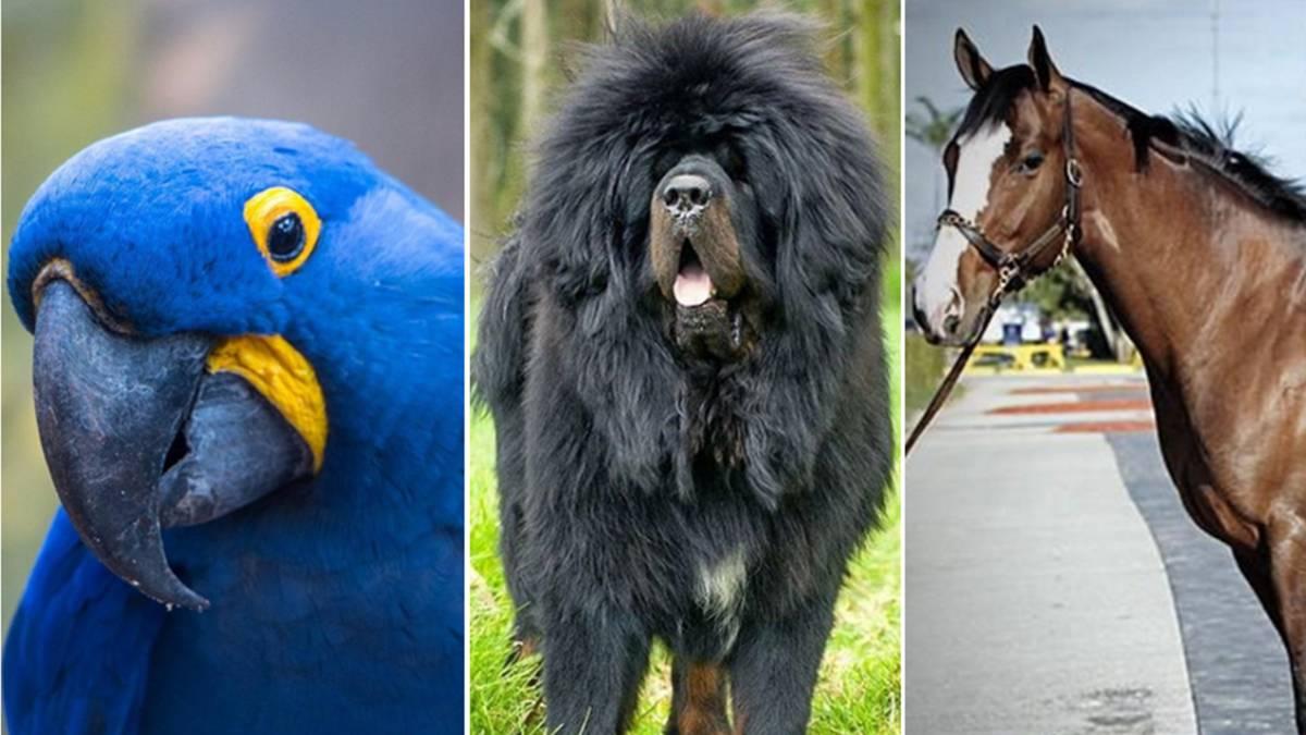 9c2fc421ce Guacamayo Jacinto, Mastín Tibetano y el caballo Green Monkey, tres de los  animales más