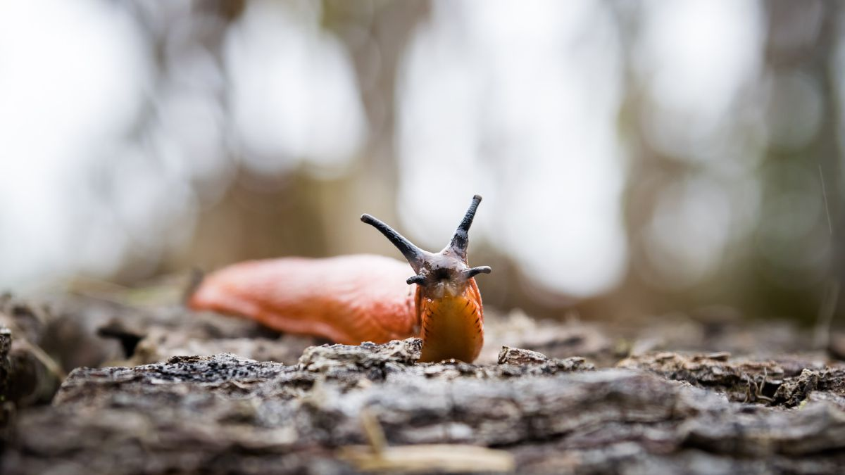 They discover sea slugs that regenerate if they are beheaded
