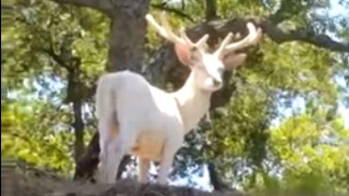 Divisado un ciervo blanco en Andalucía