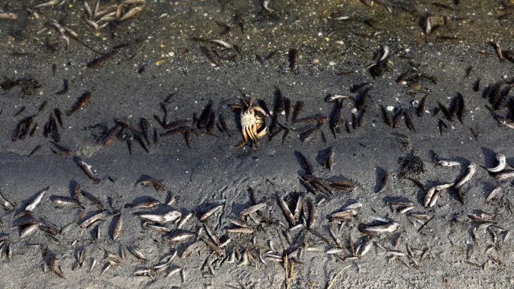 Así es la bolsa anósmica en la que mueren los peces en el Mar Menor