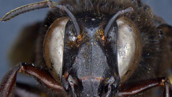 Descubren una abeja mitad macho y mitad hembra en Ecuador