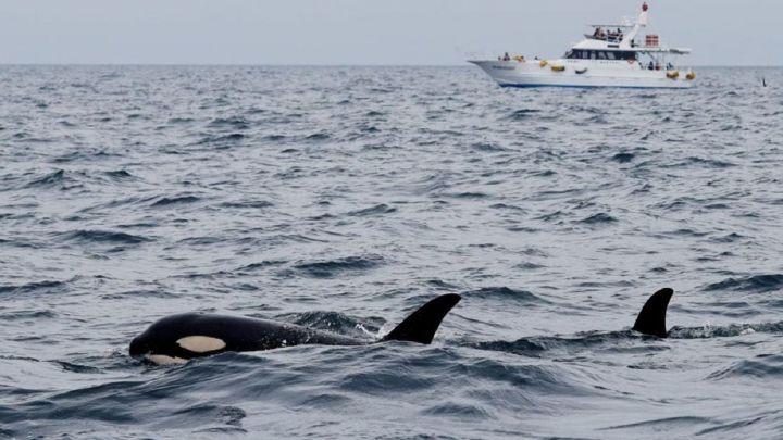 Descubren la posible causa de los ataques de las orcas en Cádiz