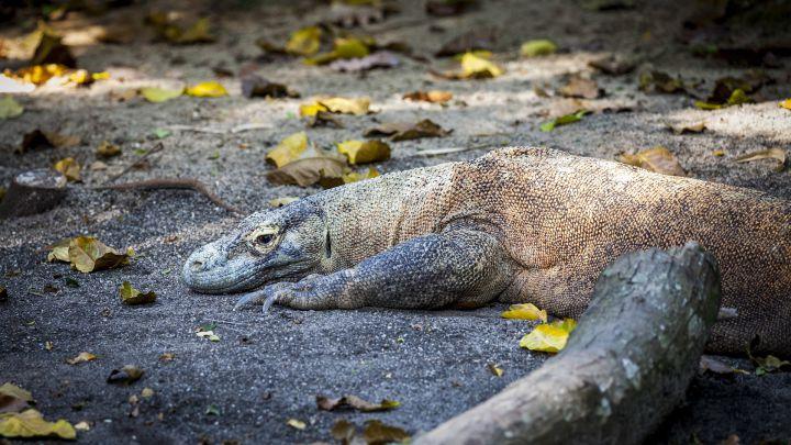 El dragón de Komodo en peligro de extinción por el cambio climático