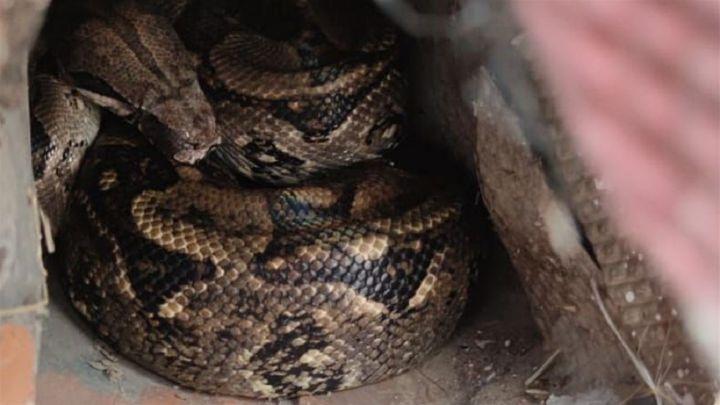 Localizan la boa constrictor que se escapó de una casa en Palencia