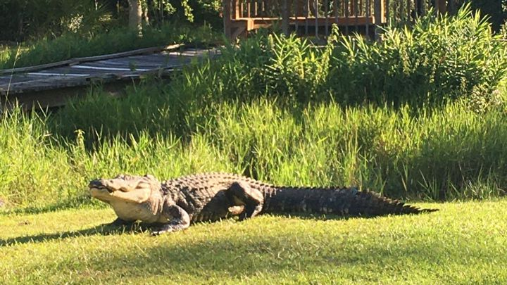 Muere Okefenokee Joe, el caimán más famoso del mundo