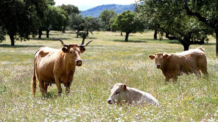 vacas antrax