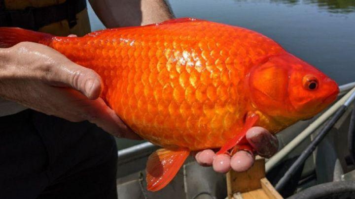 Los peces que darían positivo en un control del alcoholemia