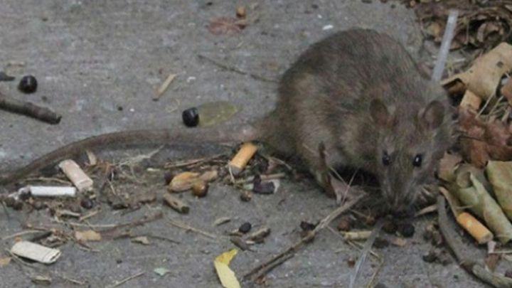 Alerta en Nueva York por una rara enfermedad transmitida por ratas