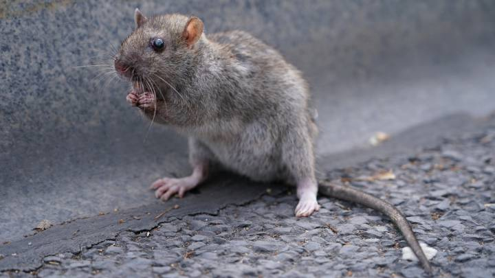 What is the bubonic plague, its symptoms and how it spreads?