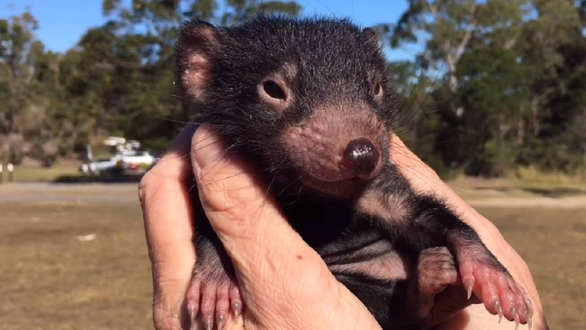Youtube el demonio de tasmania un animal en peligro