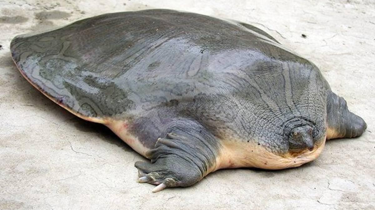 La gigantesca tortuga india y el universo de los animales for Does fish have iron