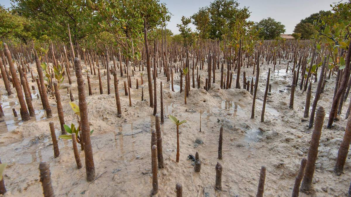 Qatar mangroves
