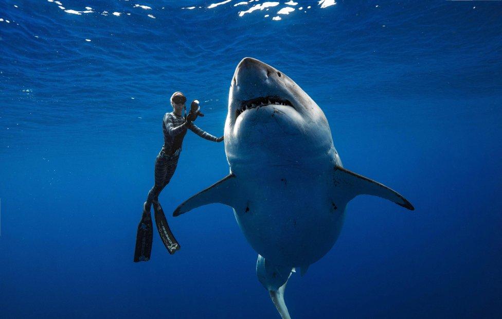 El buceador Ocean Ramsey (@oceanramsey) nada junto a un gran tiburón blanco hembra en la costa de Oahu, Hawai.