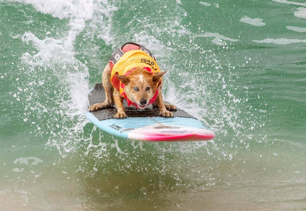 Skyler Henard durante  el concurso Surf City Surf Dog 2019 en Huntington Beach, California.