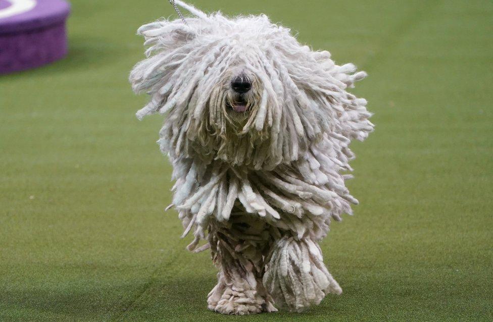 Un gracioso perro Komodor durante la Westminster Kennel Club Dog Show en el Madison Square Garden de Nueva York.